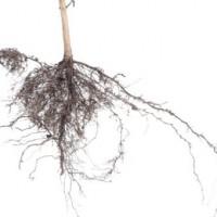 Desarrollo radicular y micorrización: ENRAIZAL