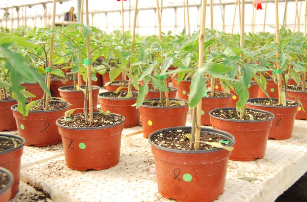 ENRAIZAL incrementa el desarrollo radicular del tomate