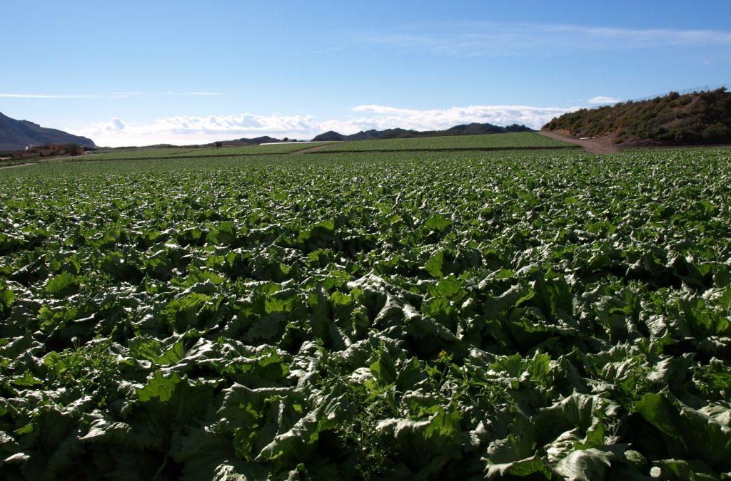 +PROD incrementa un 8,5% la producción en el cultivo de la lechuga iceberg