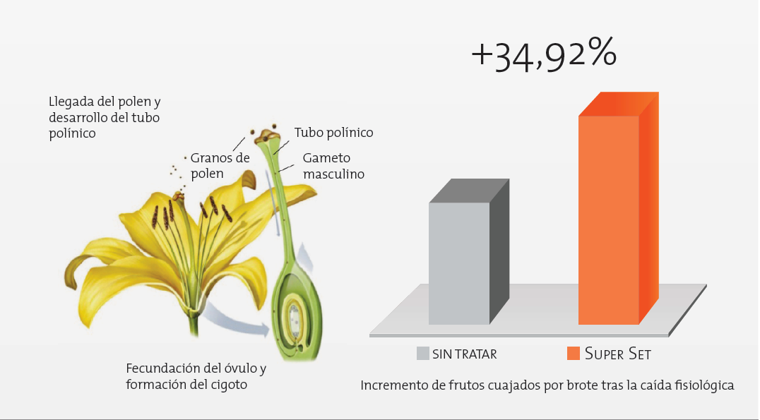 Super Set incrementa un 35% la media de frutos cuajados por brote en cítricos