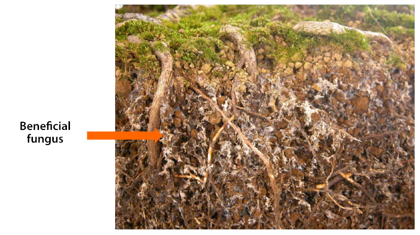 Beneficial fungus in the roots - ENRAIZAL Artal