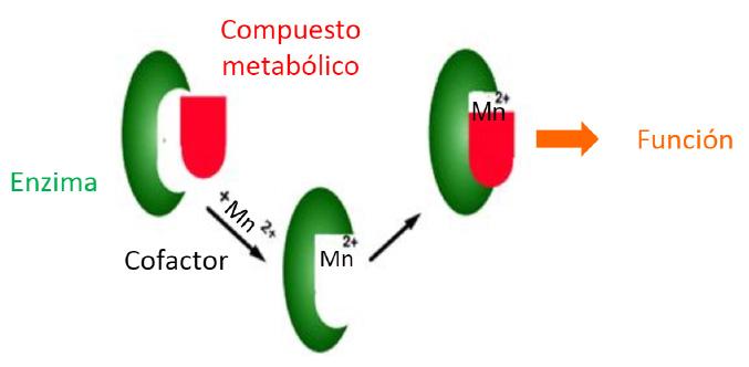 Cofactor Manganeso - Artal