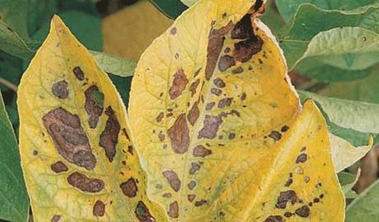 Magnesium (Mg) deficiencies in plants