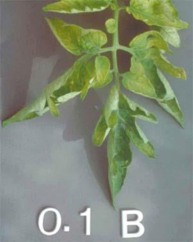 Boron (B) deficiencies in plants