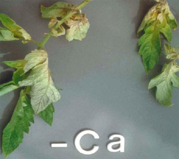 Calcium (Ca) deficiency in plants