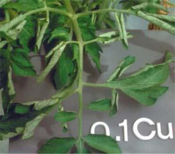 Cupper (Cu) deficiencies in plants