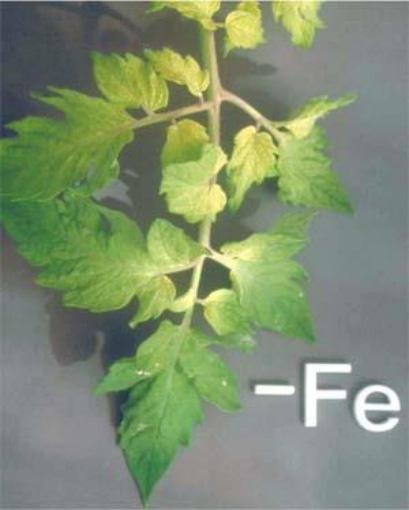 Iron (Fe) deficiency in plants