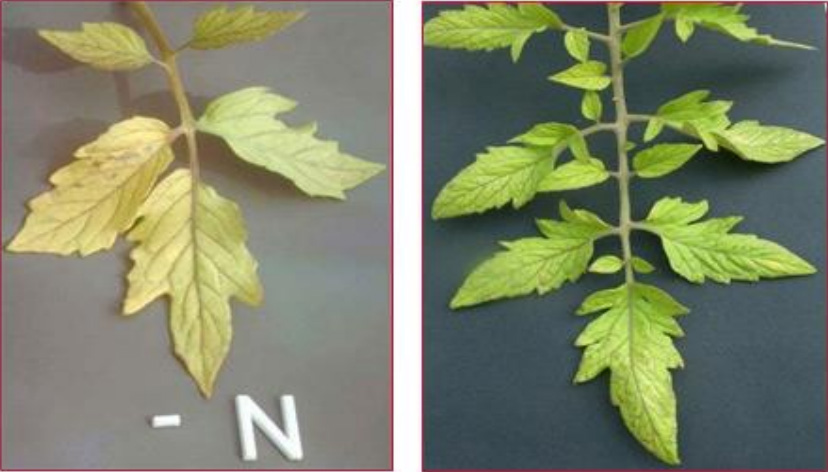 nitrogen (N) deficiency in plants