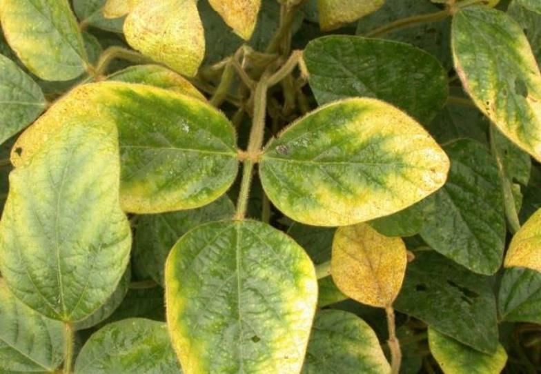 Potasssium (K) deficiency in plants