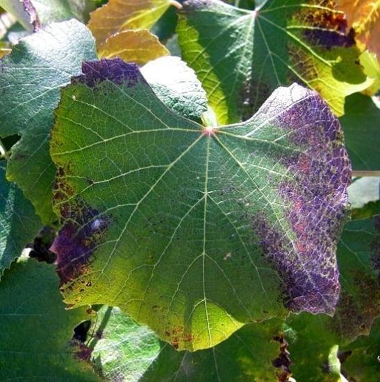 Phosphorus (P) deficiency in plants