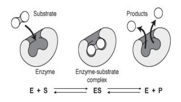 Diagram of the enzymatic activity