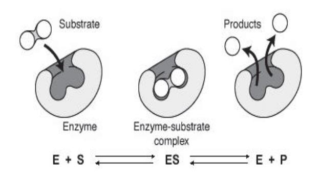 Esquema del funcionamiento de una enzima - Artal